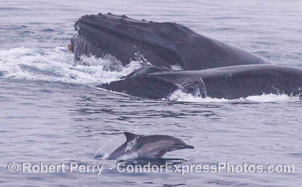 Humpback Whales (<em>Megaptera novaeangliae</em>) and a Common Dolphin (<em>Delphinus capensis</em>).