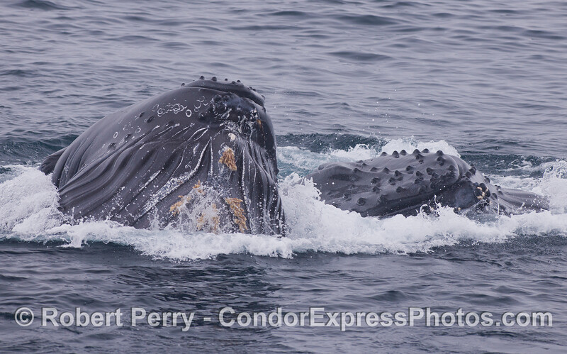 Two lunge feeding Humpback Whales (<em>Megaptera novaeangliae</em>) aim directly at the camera.