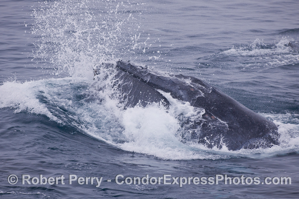 Lunge feeding Humpback Whale (<em>Megaptera novaeangliae</em>).