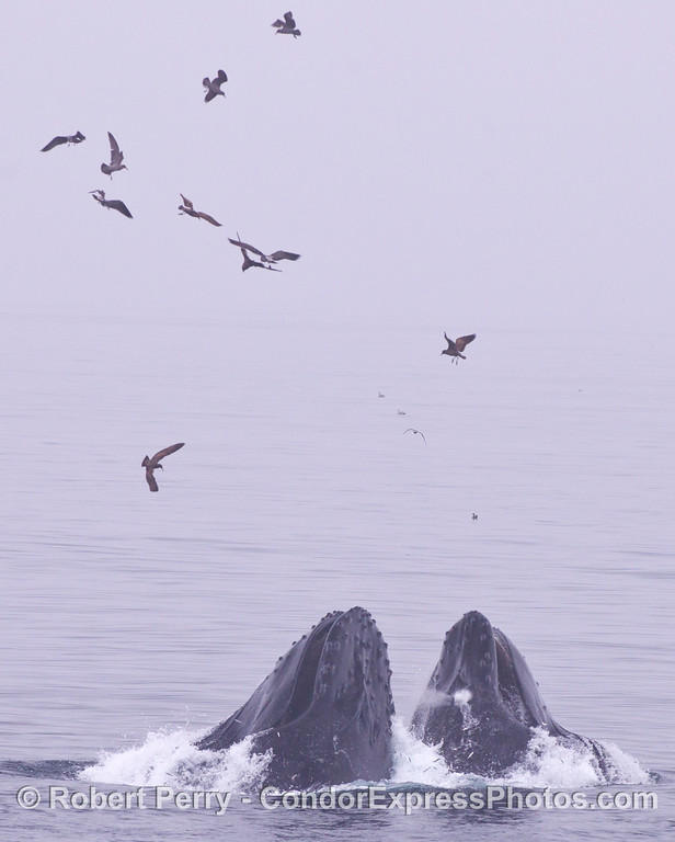 Two Humpback Whales (<em>Megaptera novaeangliae</em>) lunge feed with an armada of birds.