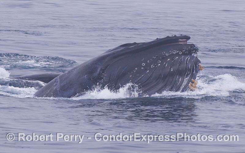 A hungry lunge feeding Humpback Whale (<em>Megaptera novaeangliae</em>) at work.