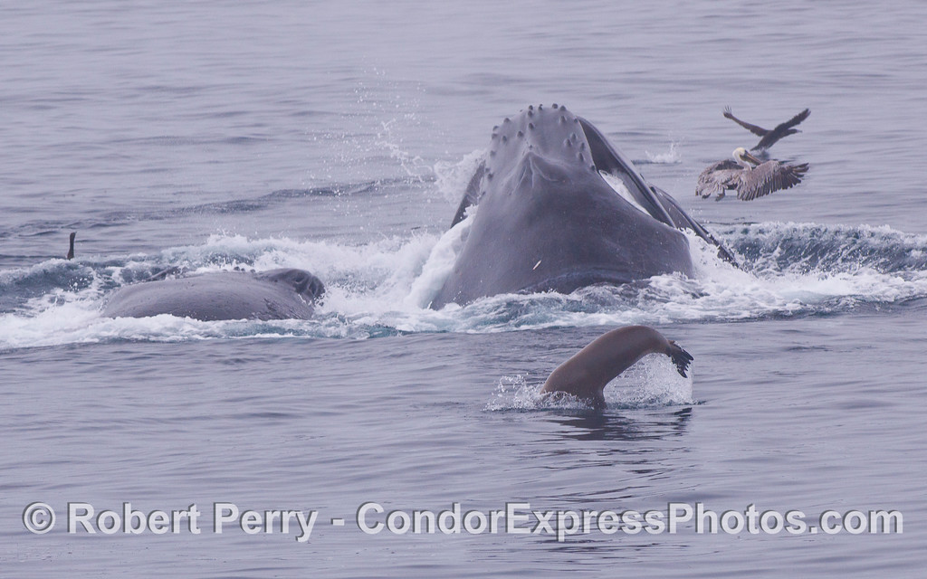 Humpback Whales (<em>Megaptera novaeangliae</em>) vertically lunge on the surface to feed on a school of Northern Anchovies (<em>Engraulis mordax</em>), joined by a California Sea Lion (<em>Zalophus californianus</em>).