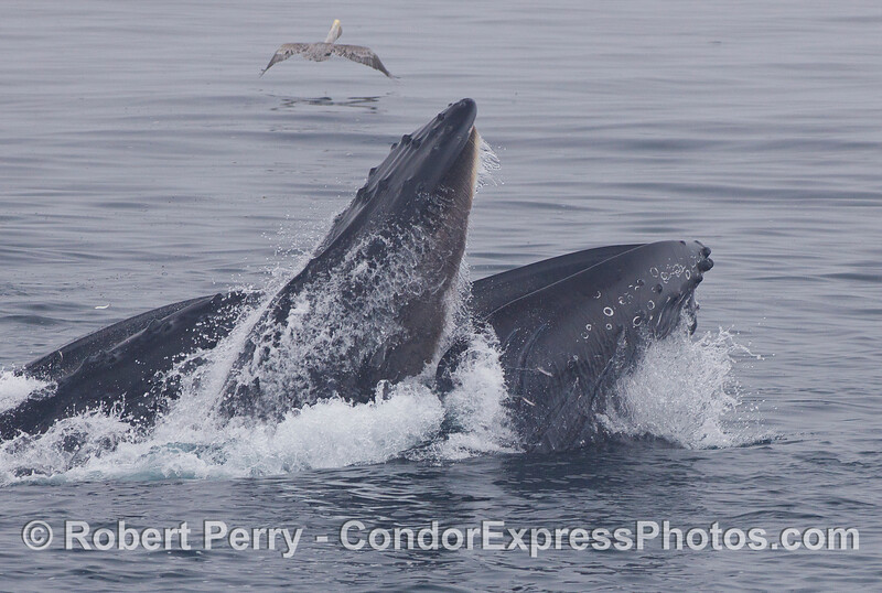 Seawater sprays from the baleen plates in the upper jaw of this Humpback Whale (<em>Megaptera novaeangliae</em>) as it vertically lunges on the surface to feed on a school of Northern Anchovies (<em>Engraulis mordax</em>).