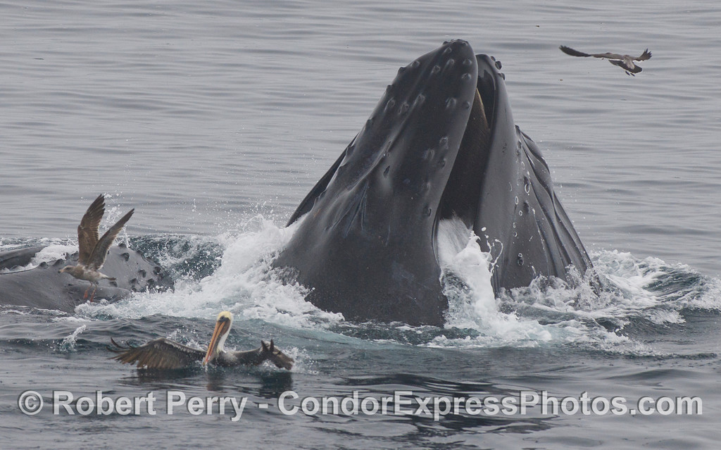Various marine birds scramble for their lives as two Humpback Whales (Megaptera novaeangliae) rise up from the deep for a surprise attack.