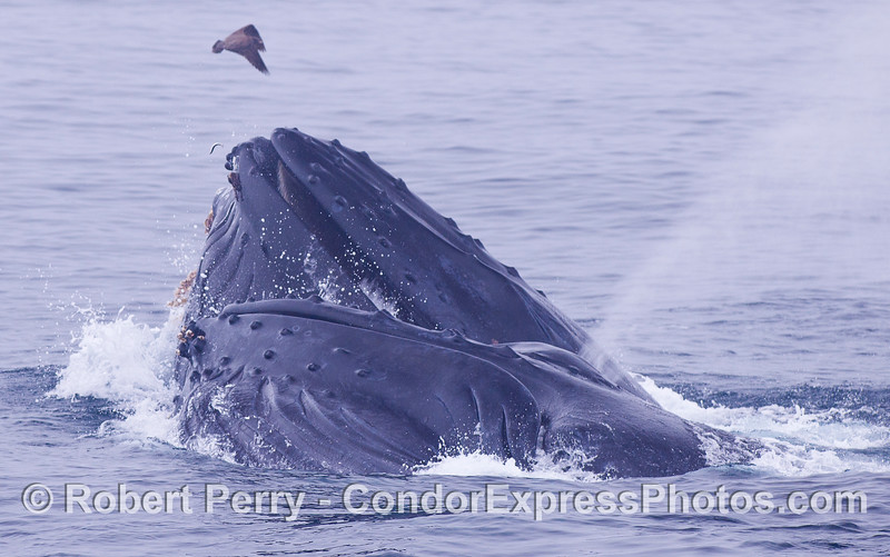 A Humpback Whales (<em>Megaptera novaeangliae</em>) lunge feeding on the surface.  A lone surviving Northern Anchovy (<em>Engraulis mordax</em>) can be seen leaping from the lips of the rear whale.
