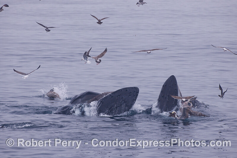 Two feeding Humpback Whale (<em>Megaptera novaeangliae</em>) and their entourage.