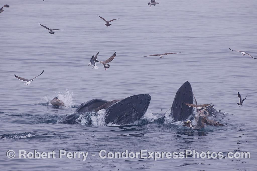 Two feeding Humpback Whale (<em>Megaptera novaeangliae</em>) and their entourage.