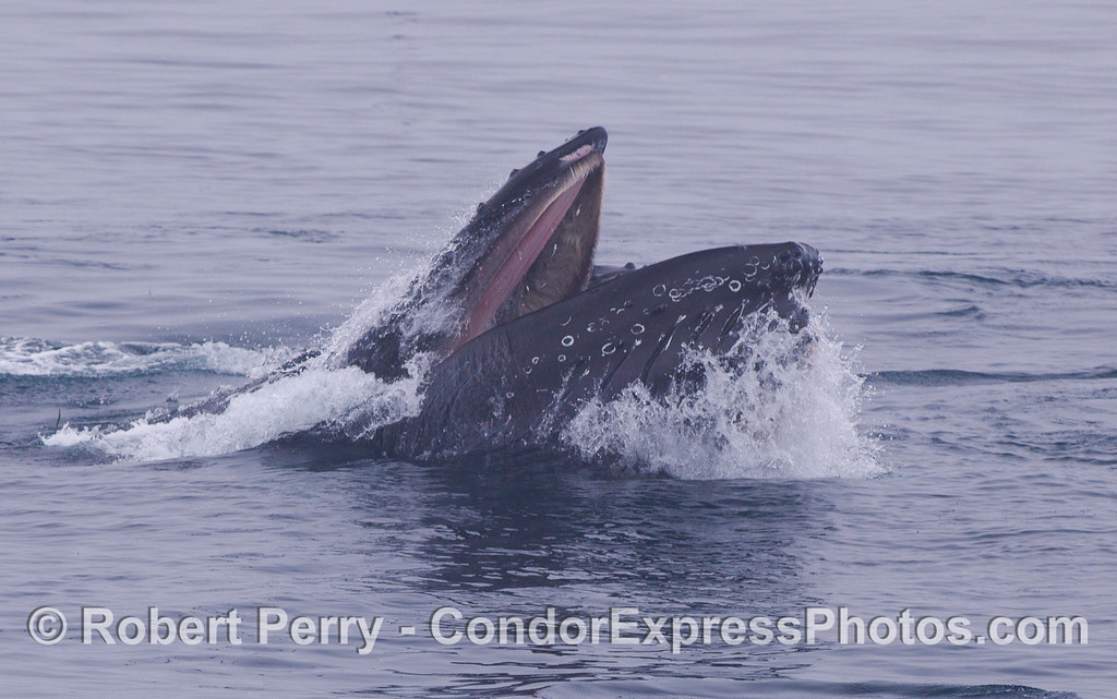 Humpback Whales (<em>Megaptera novaeangliae</em>) crashing through the glassy surface to gulp down a school of Northern Anchovies (<em>Engraulis mordax</em>).  The pink soft palate of the upper jaw can be seen surrounded by the bushy baleen.  Under the lower jaw, the ventral grooves are expanding as the whale engulfs hundreds of gallons of seawater full of fish. There are two whales cooperatively feeding in all these photographs.