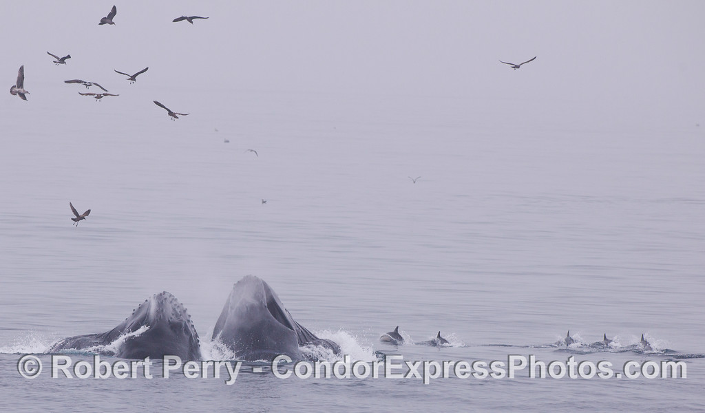 Action on the feeding grounds...Humpback Whales (<em>Megaptera novaeangliae</em>), Common Dolphins (<em>Delphinus capensis</em>), and various keen-eyed birds.