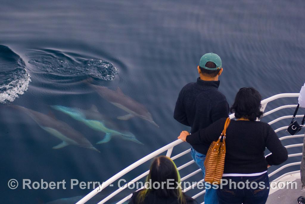Delphinus capensis 2011 10-22 SB Channel c  - 006
