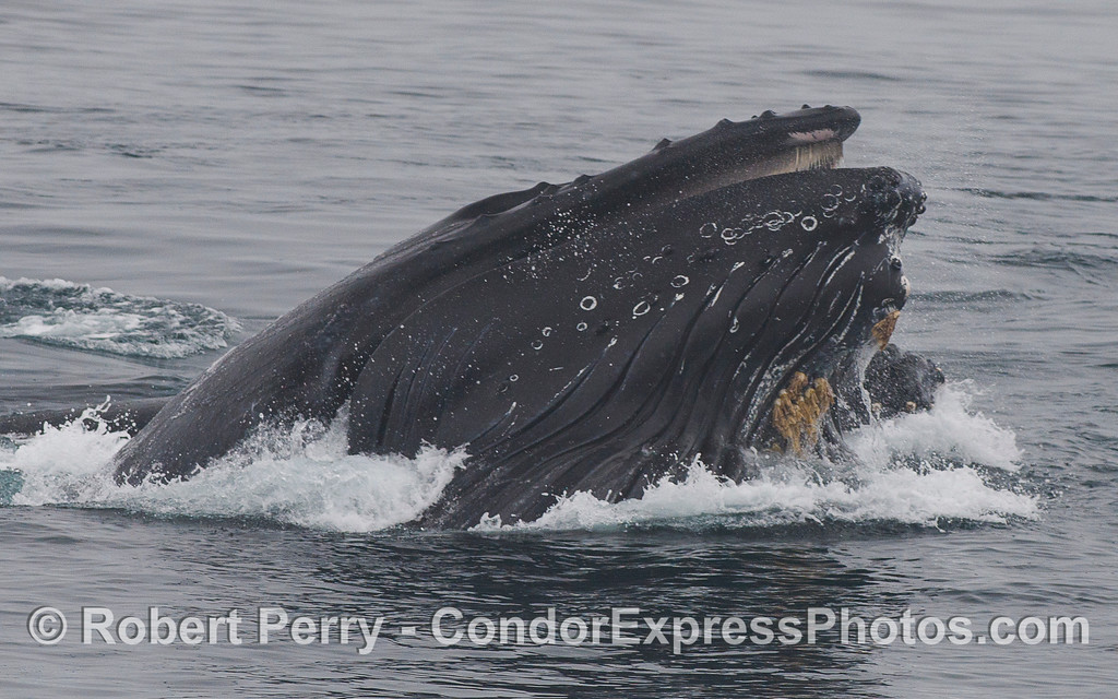 Humpback Whales (<em>Megaptera novaeangliae</em>) vertically lunge on the surface to feed on a school of Northern Anchovies (<em>Engraulis mordax</em>).