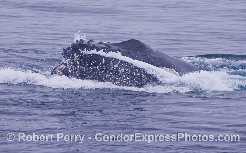 Side view of a lunge feeding Humpback Whale (<em>Megaptera novaeangliae</em>) .