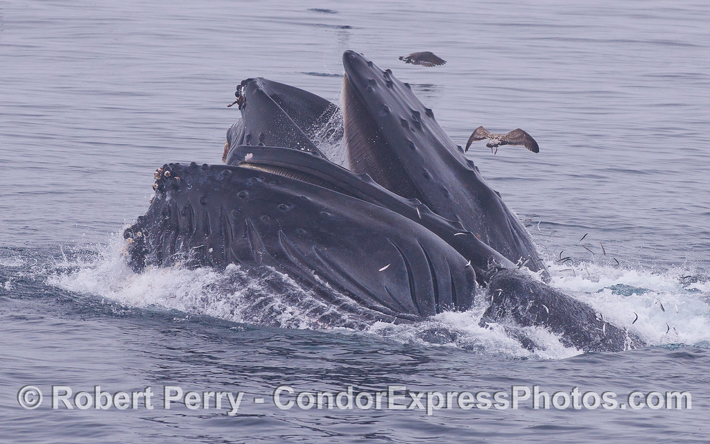 Northern Anchovies (<em>Engraulis mordax</em>) leap for their lives as two hungry lunge feeding Humpback Whales (<em>Megaptera novaeangliae</em>) show their baleen plates.
