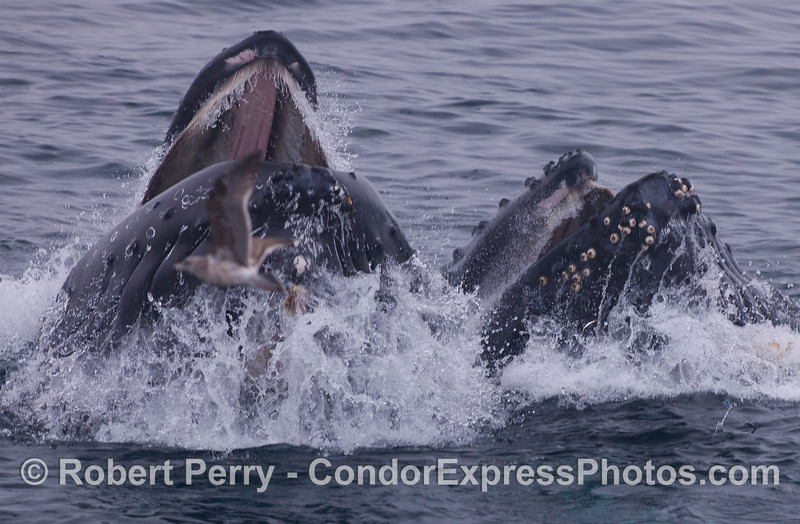 Two Humpback Whales (<em>Megaptera novaeangliae</em>) head directly at the camera as they surface lunge feed together on a school of Northern Anchovies (<em>Engraulis mordax</em>).  A juvenile gull (<em>Larus sp.</em>) is seen in the foreground.