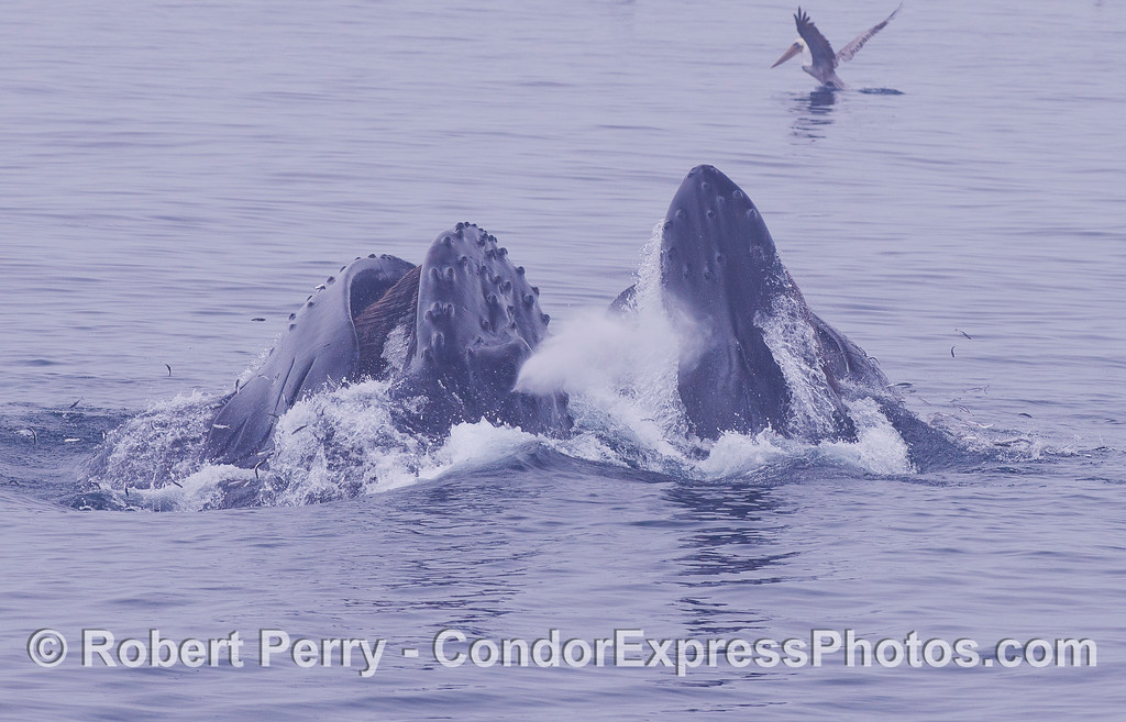 A Humpback Whales (<em>Megaptera novaeangliae</em>) lunge feeding on the surface.