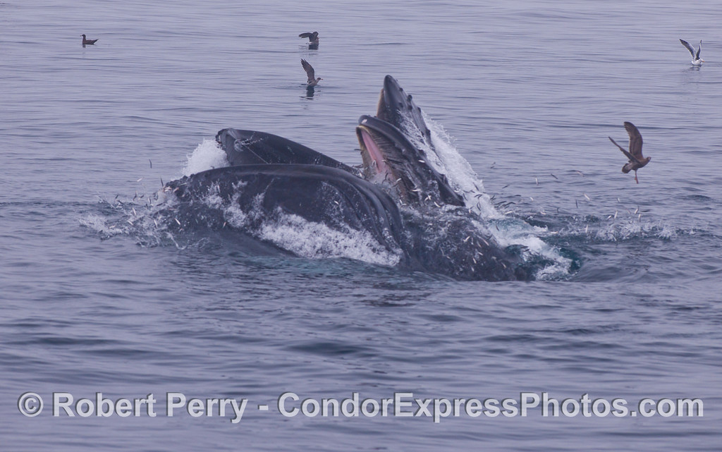 Two Humpback Whales (<em>Megaptera novaeangliae</em>) crashing through the glassy surface to gulp down a school of Northern Anchovies (<em>Engraulis mordax</em>).  In most of these images, flocks of gulls (Laridae) and other seabirds are picking up the scraps.