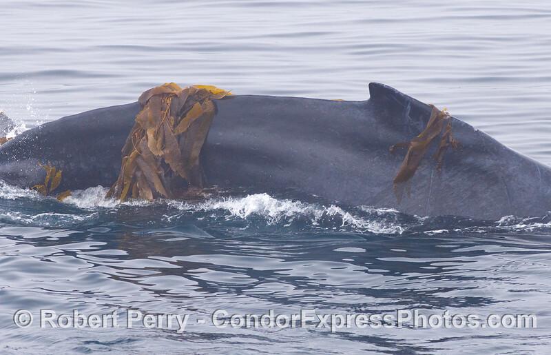 A Humpback Whales (<em>Megaptera novaeangliae</em>) plays around by wrapping itself with drifting Giant Kelp (<em>Macrocystis pyrifera</em>).