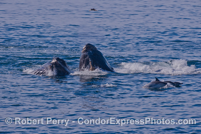 Two Humpbacks (<em>Megaptera novaeangliae</em>) and three Common Dolphins (<em>Delphinus capensis</em>).