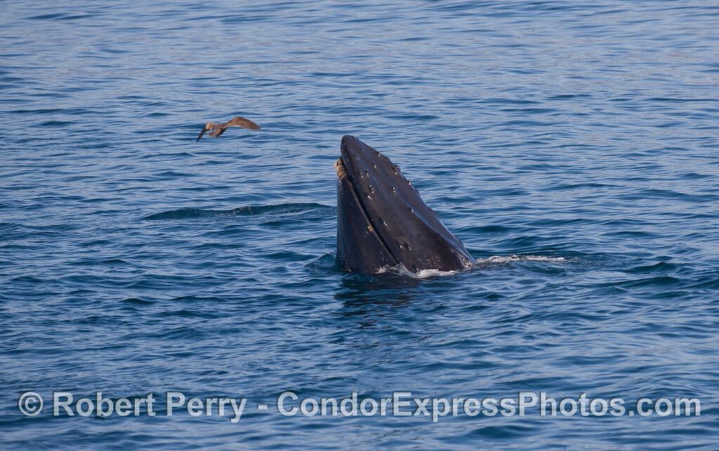 Spyhopping Humback Whale (<em>Megaptera novaeangliae</em>).