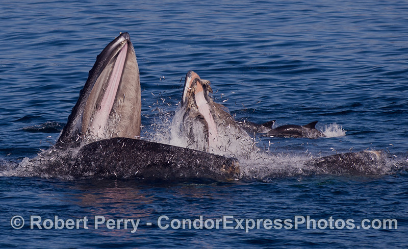 Thousands of Northern Anchovies (<em>Engraulis mordax</em>) leap for their lives as two behemouth Humpback Whales (<em>Megaptera novaeangliae</em>) lunge feed on a massive school of these bait fish.  In the back youcan see a couple of Common Dolphins (<em>Delphinus capensis</em>) picking up the scraps.
