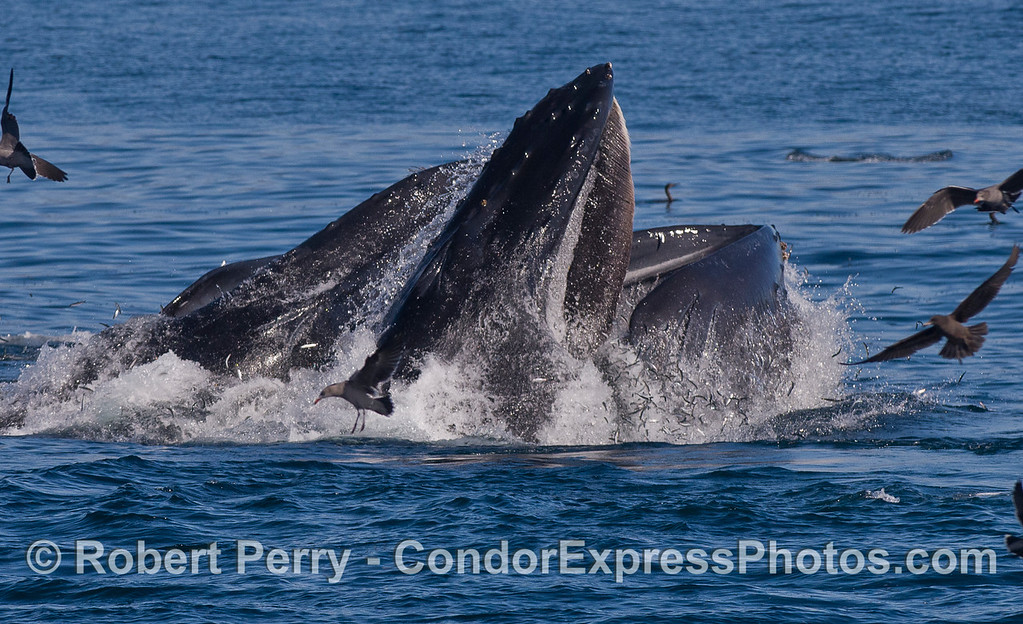 Humpback Whales (<em>Megaptera novaeangliae</em>) lunge feeding on Northern Anchovies (<em>Engraulis mordax</em>) which can be seen spilling out of the whales mouths all around.