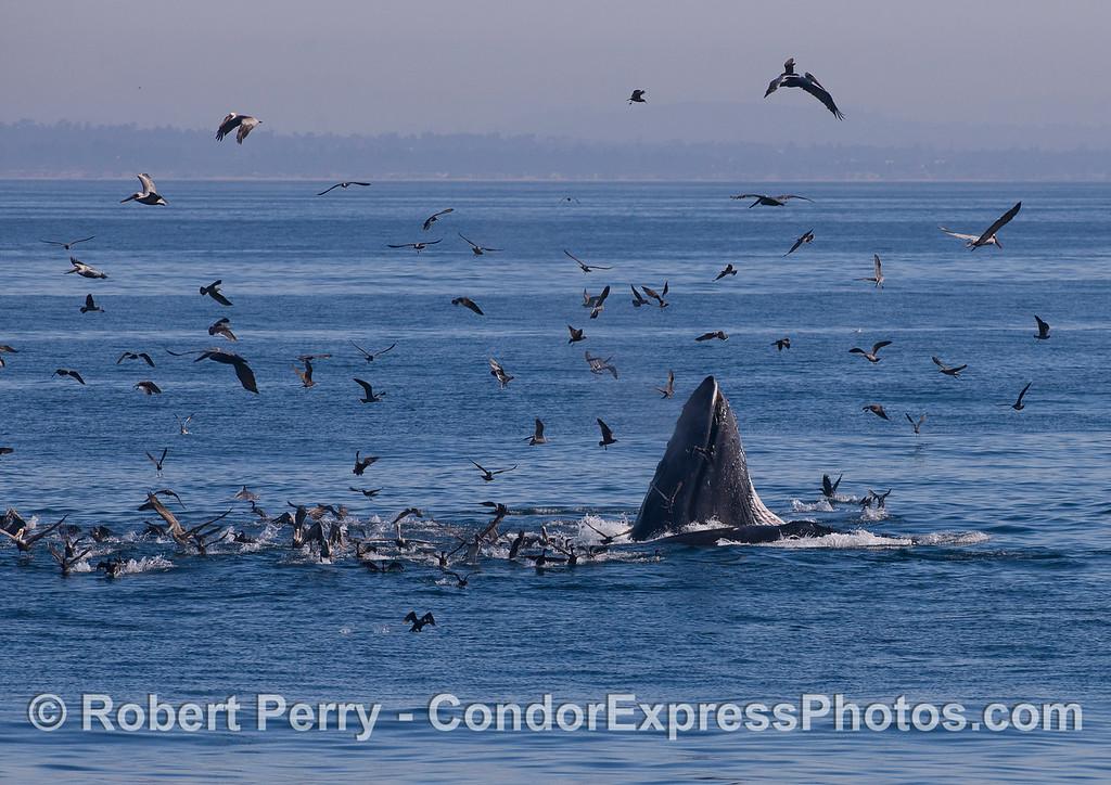 Humpback Whales (<em>Megaptera novaeangliae</em>) lunge feeding in the middle of a hot spot.