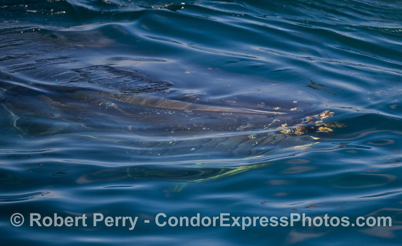 If you look closely you will see the head of a Humpback Whale (<em>Megaptera novaeangliae</em>) under the water.