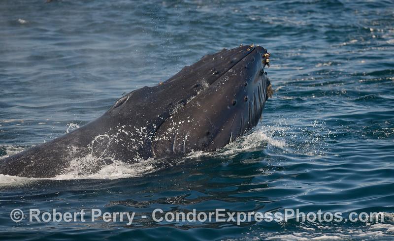 Side look at a lunge feeding Humback Whale (<em>Megaptera novaeangliae</em>).