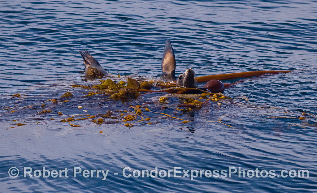 A California Sea Lion (Zalophus californianus) relaxes in a drifting paddy of kelp (Macrocystis pyrifera and Nereocystis lutkeana).