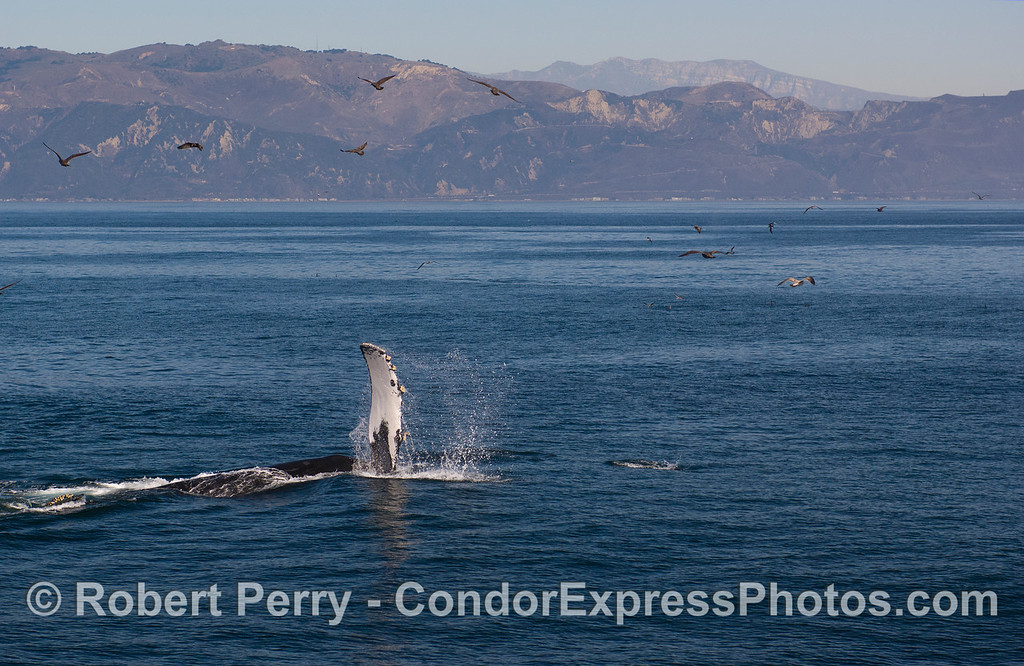 A  Humback Whale (Megaptera novaeangliae) slaps its pectoral fin.  The western Ventura coast is seen in back.