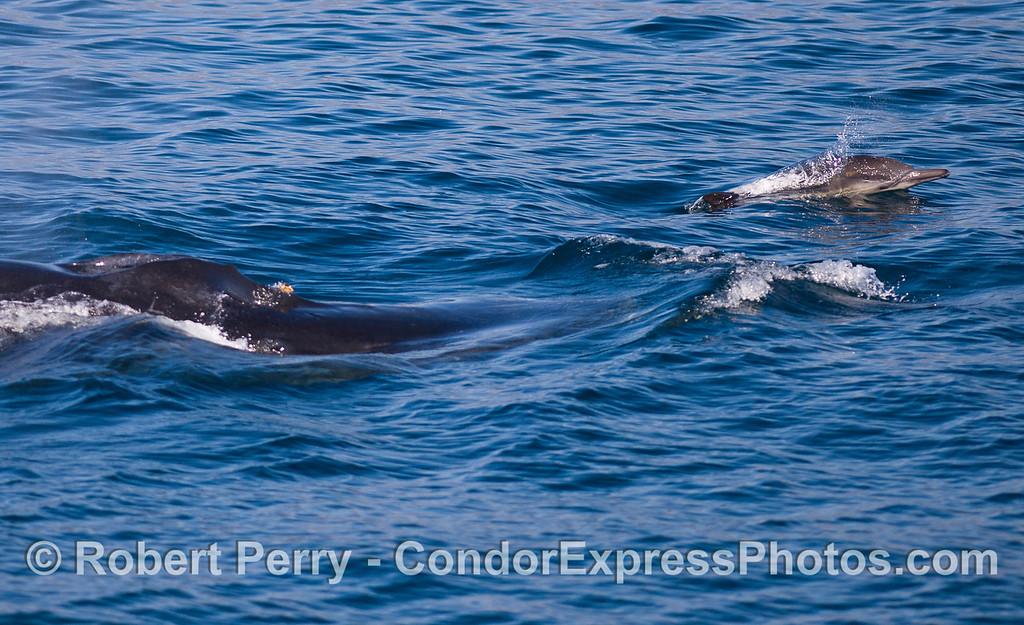 A Common Dolphin (<em>Delphinus capensis</em>) rides the bow wake of a Humback Whale (<em>Megaptera novaeangliae</em>).