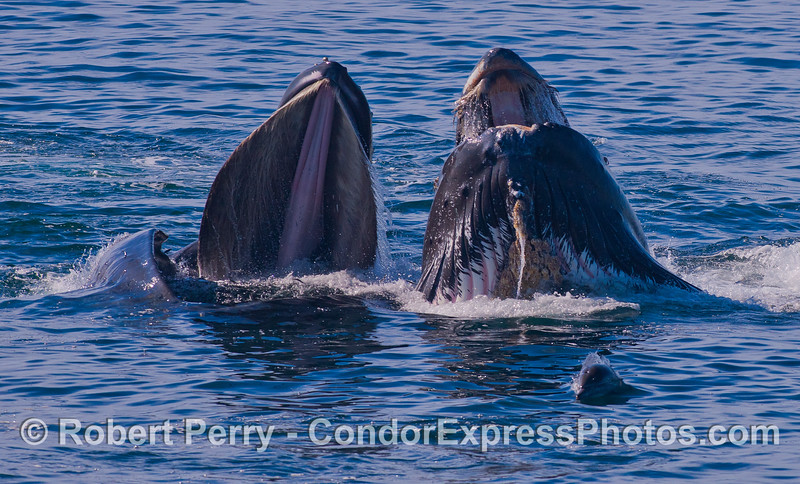 Lunge feeding Humpback Whales (<em>Megaptera novaeangliae</em>).  The whale on the right has a damaged soft palate and bent baleen near the front of its mouth.
