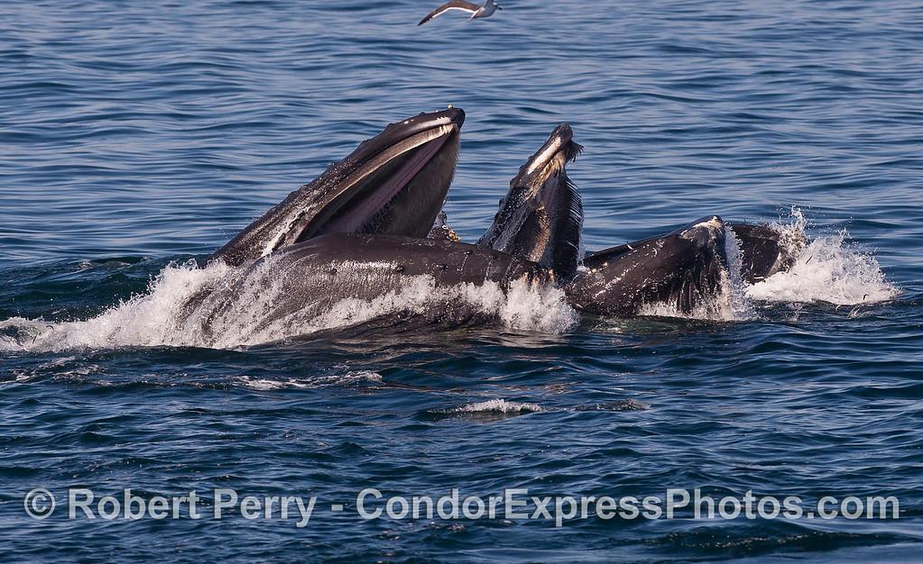 Humbacks (<em>Megaptera novaeangliae</em>) surface lunge feeding in unison.