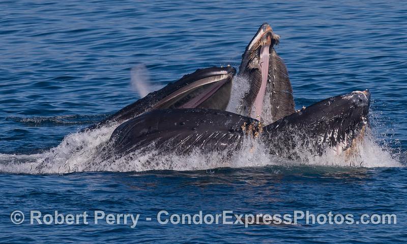 Two Humbacks (<em>Megaptera novaeangliae</em>) surface lunge feeding and a Common Dolphin (<em>Delphinus capensis</em>).