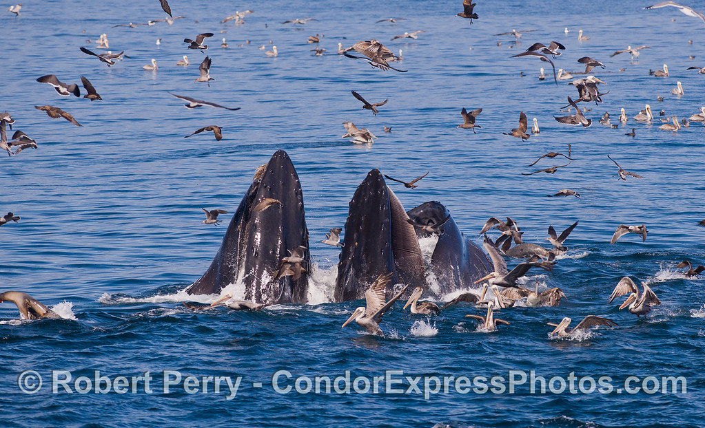 Humpback Whales (<em>Megaptera novaeangliae</em>) lunge feeding in the middle of a hot spot.