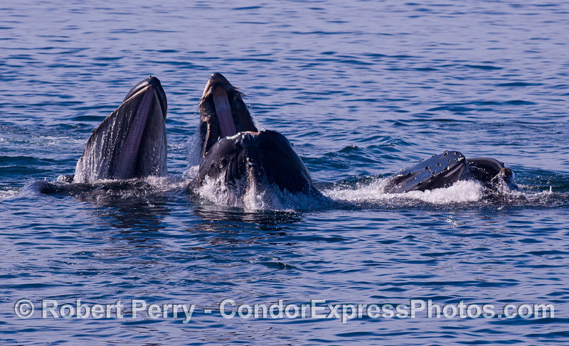 Three lunge feeding Humpback Whales (<em>Megaptera novaeangliae</em>).