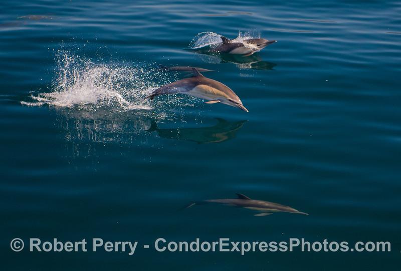Common Dolphins (<em>Delphinus capensis</em>) on a mirror glass ocean.