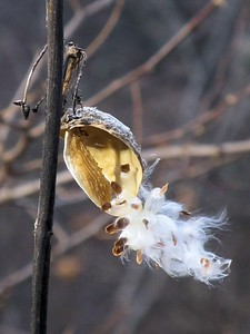 Yeah, more milkweed pods.... gotta take their picture, they smile so nice, they're poofy