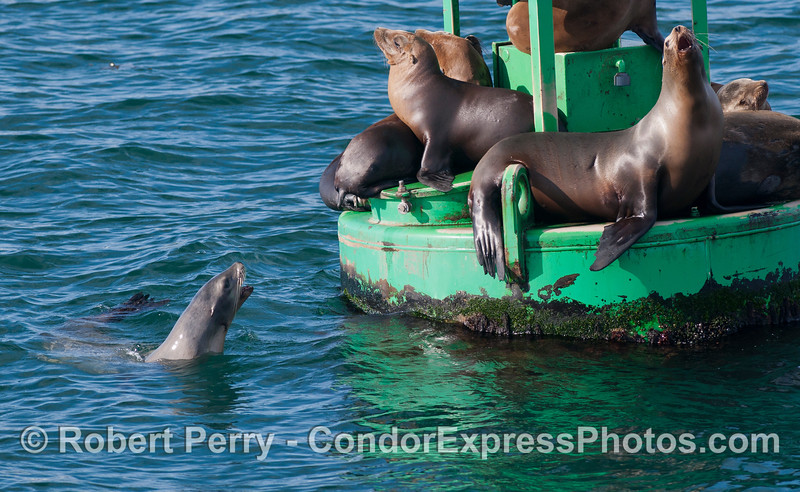 California Sea Lions (<em>Zalophus californianus</em>) on the harbor entrance buoy.