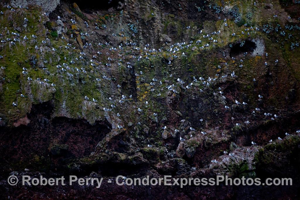 Gulls blooming at Santa Cruz Island.
