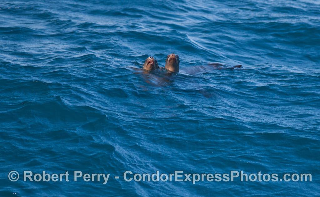 Two curious California Sea Lions (<em>Zalophus californianus</em>).
