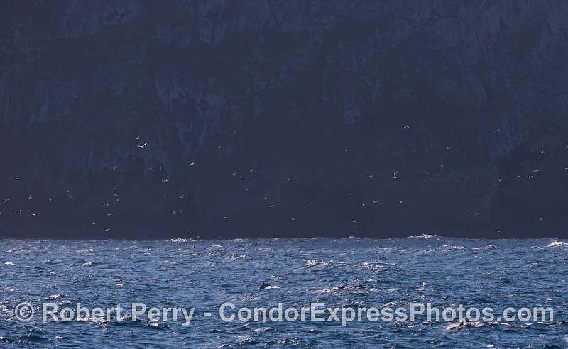 Marine life activity near the cliffs along the west end of Santa Cruz Island.  Western Gulls (<em>Larus occidentalis</em>) circle above the water where Common Dolphins (<em>Delphinus capensis</em>) cavort.