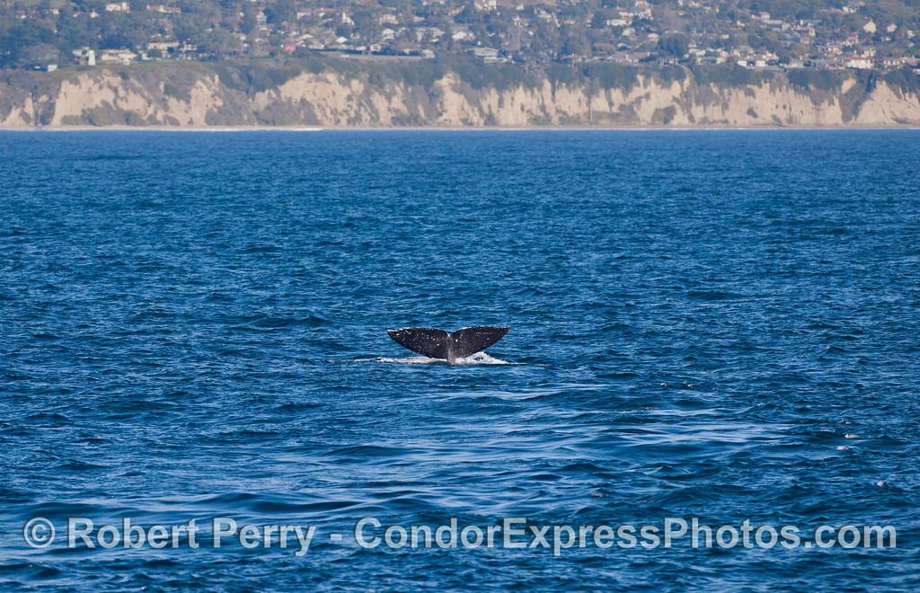 Gray Whale (<em>Eschrichtius robustus </em>) tail.
