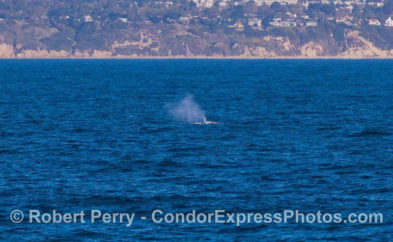 A Gray Whale (<em>Eschrichtius robustus </em>) smoke stack.