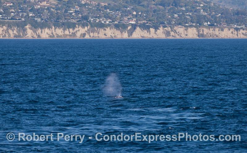 A southbound Gray Whale (<em>Eschrichtius robustus </em>) near the coast of Santa Barbara.