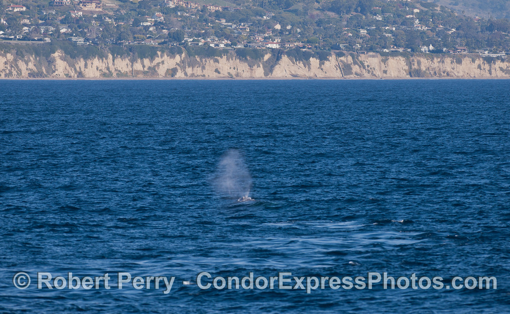 A southbound Gray Whale (<em>Eschrichtius robustus </em>) near the coast of Santa Barbara.