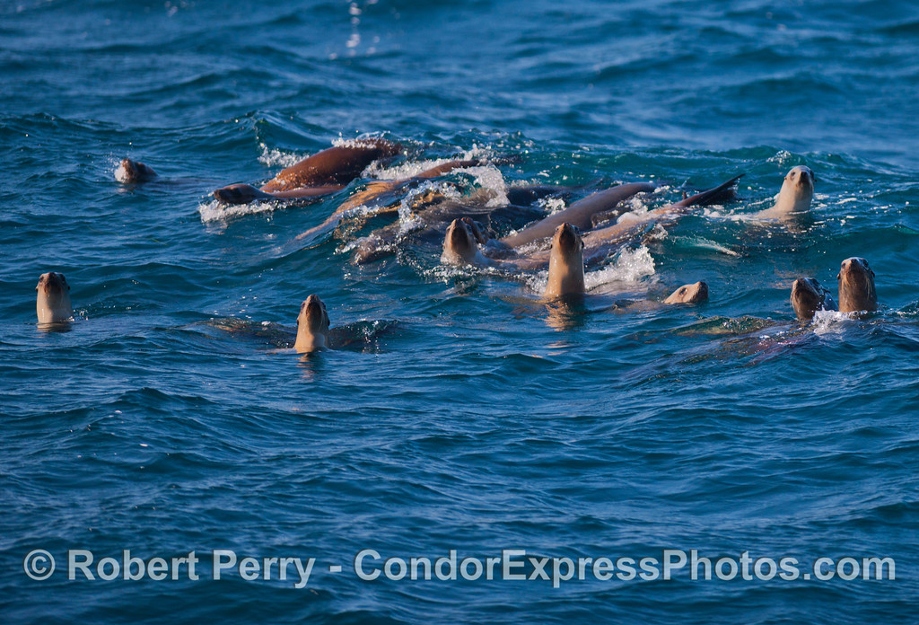 A mob of California Sea Lions (<em>Zalophus californianus</em>) catch the morning sun light.