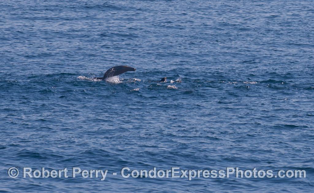 Zalophus californianus leaping in line 2011 12-22 SB Channel-013