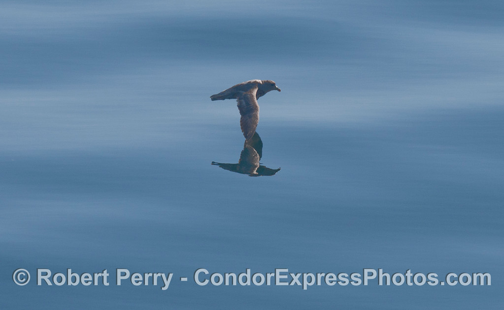 Image 2 of 3:  a Black-vented Shearwater (<em>Puffinus opisthomelas</em>) flys above glassy water.