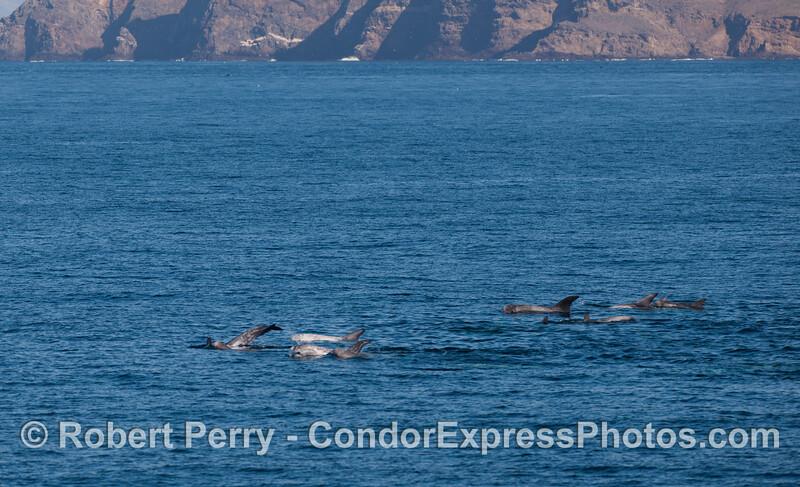 Risso's Dolphins (<em>Grampus griseus</em>) near the west end of Santa Cruz Island.